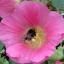 Шмель на цветке мальвы